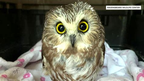 Watch TODAY Highlight: Tiny owl rescued from Rockefeller